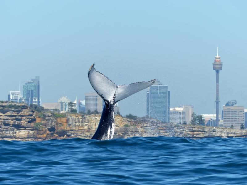 Humpback Whale Sydney